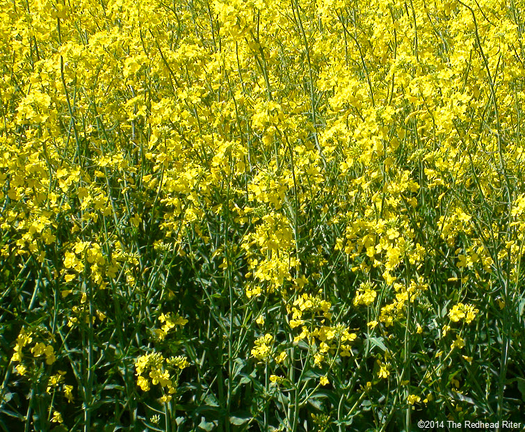 Yellow Fields Of Flowering Rapeseeds For Canola Oil In Richmond