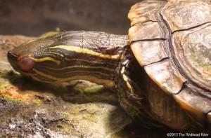 cute painted turtle sleeping