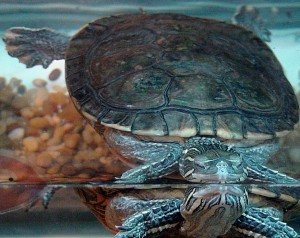 painted turtle double water illusion